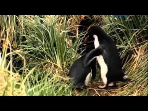 Смотреть фильм Пингвины  История о птицах которым захотелось стать рыбами онлайн    — Яндекс Видео 2