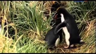 Смотреть фильм Пингвины  История о птицах которым захотелось стать рыбами онлайн    — Яндекс Видео 2(Документальный фильм об уникальных созданиях, которые научились выживать среди ужасного холода. Это птицы,..., 2015-09-22T17:04:03.000Z)