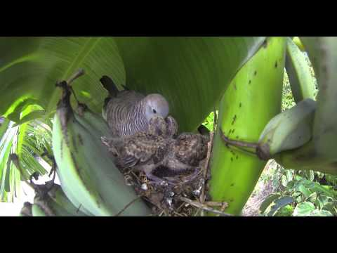 Zebra Dove Nest 2013
