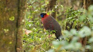 Birding in Bhutan 2018: Nganglam to Paro via the Limithang Road