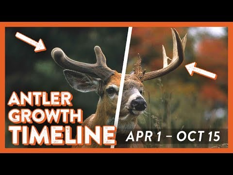 Whitetail deer antler growth timeline also youtube rh