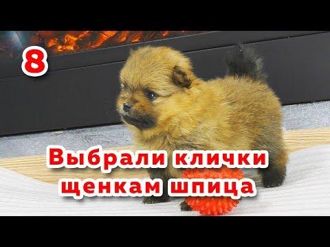 Как назвать собаку шпиц