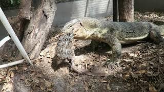 giant-lizard-eats-a-rabbit
