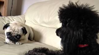 Pug -vs- Toy Poodle