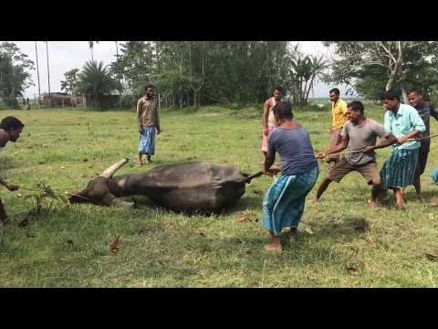 Buffalo castration in village