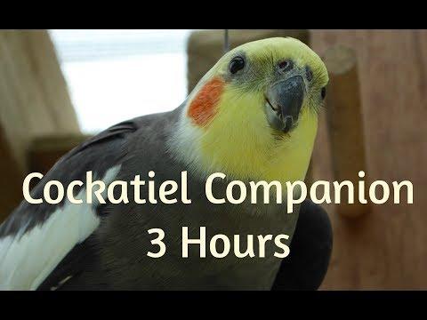 Cockatiel Companion 3 HOURS OF COCKATIELS!!! No Human Voices