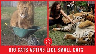 Big Cats Acting Like Cute Funny House Cats Compilation