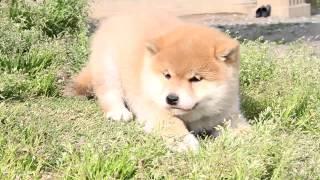 柴犬専門ブリーダー・犬舎の子犬販売 柴犬.net ID:1518 http://www.shib...