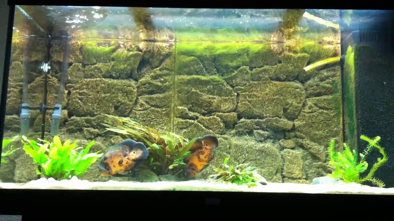 Oscar fish behaviour youtube for H m fish count