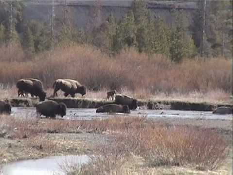A Buffalo's Trail Of Tears