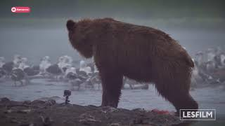 """Премьера фильма """"Медведи Камчатки. Начало жизни."""""""