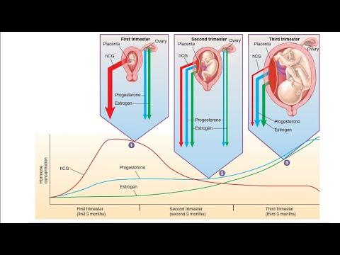 human Chorionic Gonadotropin (hCG) hormone in Hindi