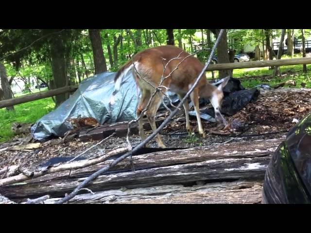 Momma deer gives birth to twins in the driveway!
