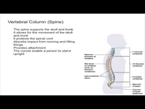 Vertebral Column (Spine)