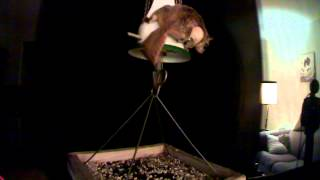 Flying Squirrel On Bird Feeder