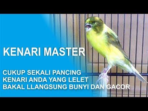 Download Lagu CUKUP SEKALI PANCING DENGAN MASTERAN INI , KENARI ANDA YANG LELET BISA LANGSUNG BUNYI DAN GACOR LAGI