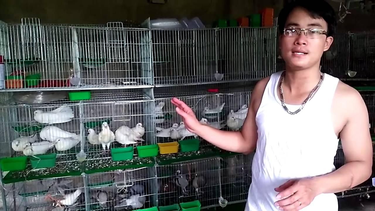 Cách chọn chim bồ câu giống