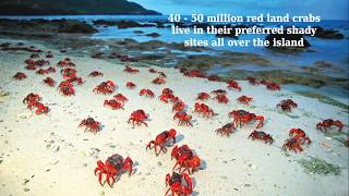 Red Crabs migration - beautiful event in Australia