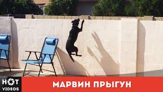 Марвин. Собака прыгун... ( HOT VIDEOS | Смотреть видео HD )