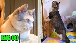 Boss cat, who will visit a calico sister cat in the room next door, meets God sister【Eng CC】!