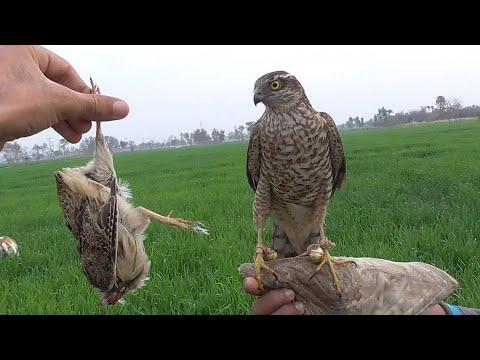 sparrowhawk training to hunt wild quails || how to train sparrowhawk || Wildlife Today |