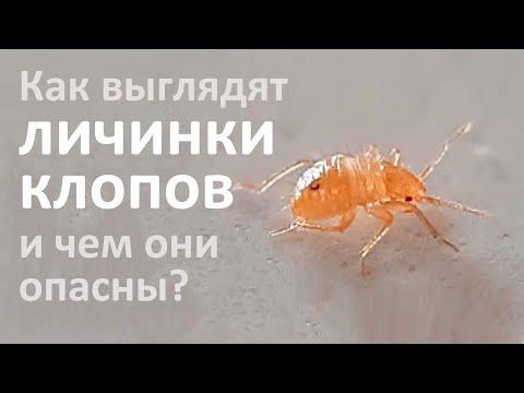 Личинки клопов: как они выглядят, где обитают и от чего дохнут