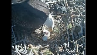 Big Bear Eagle Cam ~  We Have A Hatch! Welcome To The World BB1  2.11.18