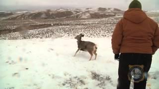 mule deer cwd study