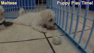 Maltese, Puppies For Sale, In Macon, Georgia, Ga, Athens,augusta, Columbus