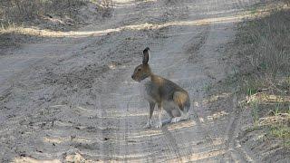 wild hare - заяц сам прибежал! wildlife