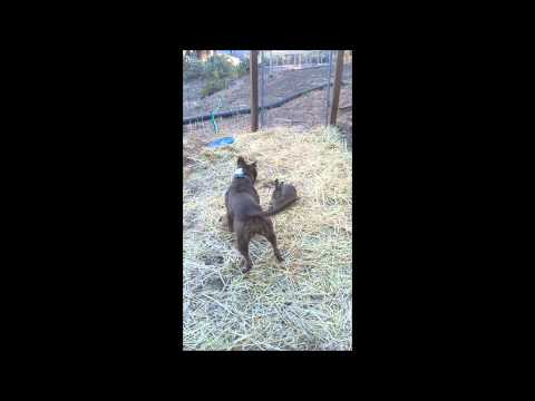 When Pitbull meets rabbit