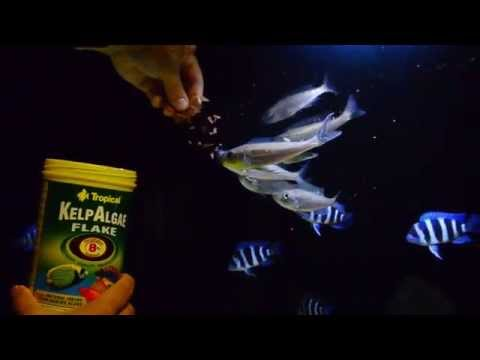Tanganyikans eating Tropical Kelp Algae flake.