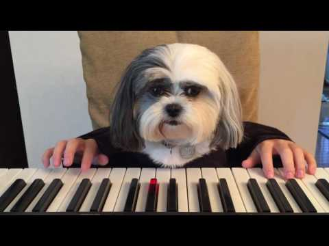 Dog with human hands playing piano
