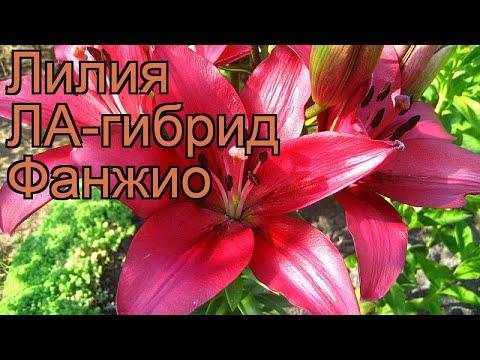 Лилия ла-гибрид Фанжио (lilium la-hybrid fangio) �� Фанжио обзор: как сажать, луковицы лилии Фанжио