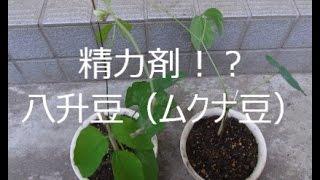 精力剤!?八升豆(ムクナ豆)元気もりもり http://herbnoaruseikatsu.c...