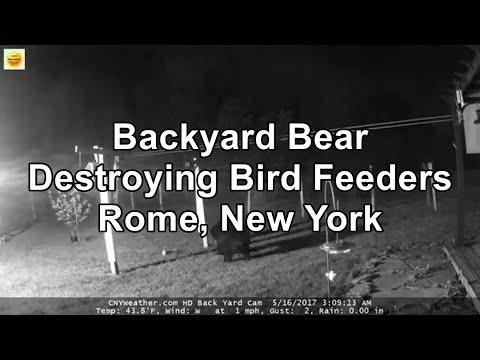 Bear destroying back yard feeders in Westmoreland NY