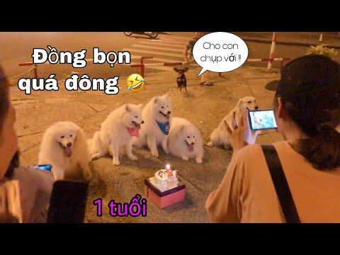 Tổ chức sinh nhật chó Samoyed tại công viên Dinh Độc Lập (birthday samoyed dog)