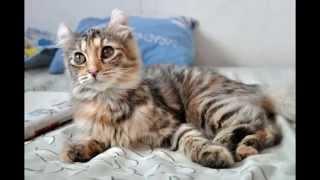 Американский кёрл (American curl) породы кошек( Slide show)!