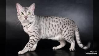 Коты Египетские Мау ( смотрите описание)