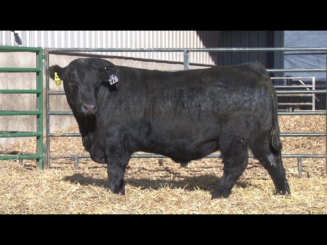 Schiefelbein Angus Farms Lot 226