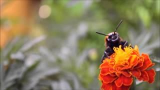 Scolia maculata Сколия гигантская