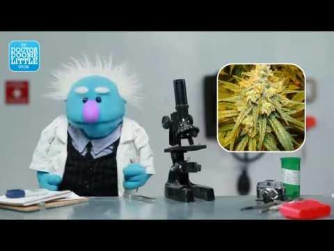 Dr. Doobielittle reviews: Banana Kush