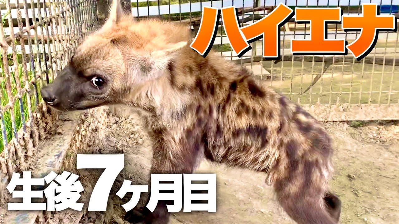 【生後7ヶ月】ハイエナがロープ遊びではしゃぐ姿が可愛すぎる件ww Rope play with hyena kids