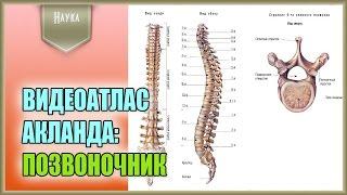 Легендарный видеоатлас доктора Роберта Акланда по анатомии человека. Позвоночник