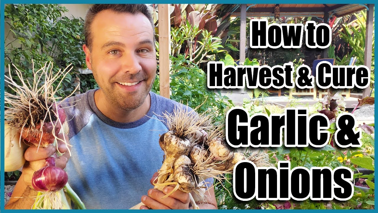 How to Harvest Garlic and Onions