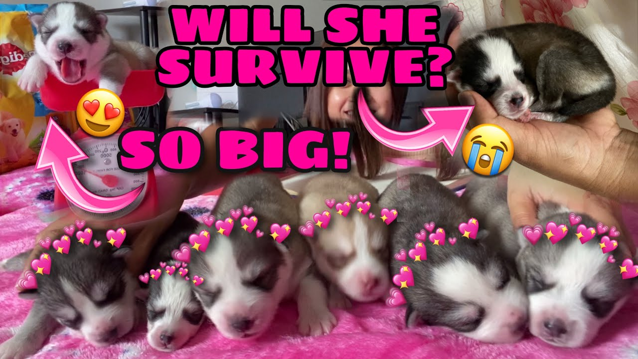 Dying Puppy? | They Got Their Names! | Puppy Updates | Husky Pack TV