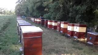 Наша пасека,на окраине Дибровского леса!(Приятно наблюдать за труженицами!, 2016-10-25T17:21:40.000Z)