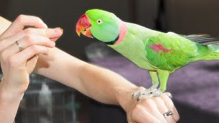 Alexandrine Parrot | Overcoming Fear of Hands
