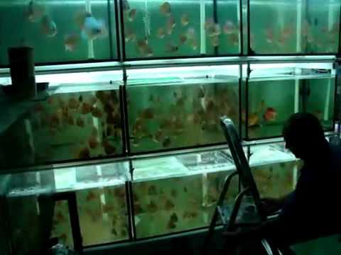 Criadero de discos youtube for Criadero de peces en casa
