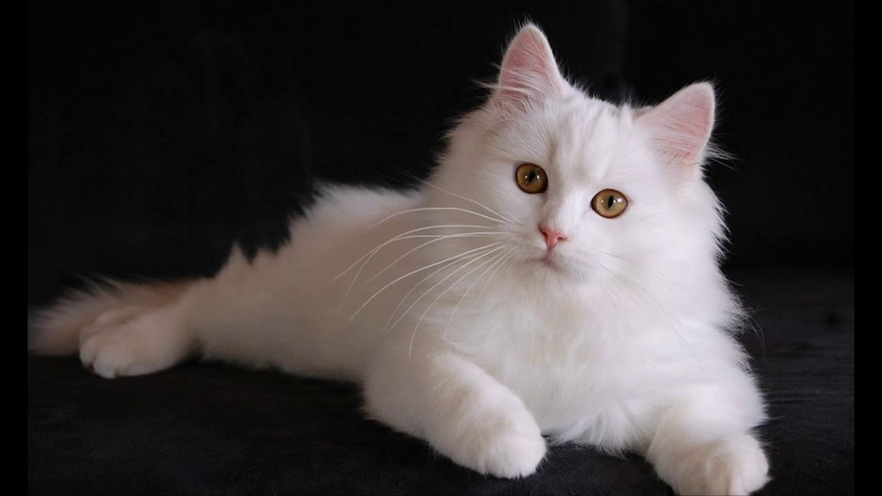 Gambar Kucing Anggora Kecil godean.web.id